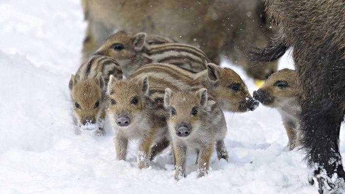 apie-kiaules-ir-sernus-veterinarija24